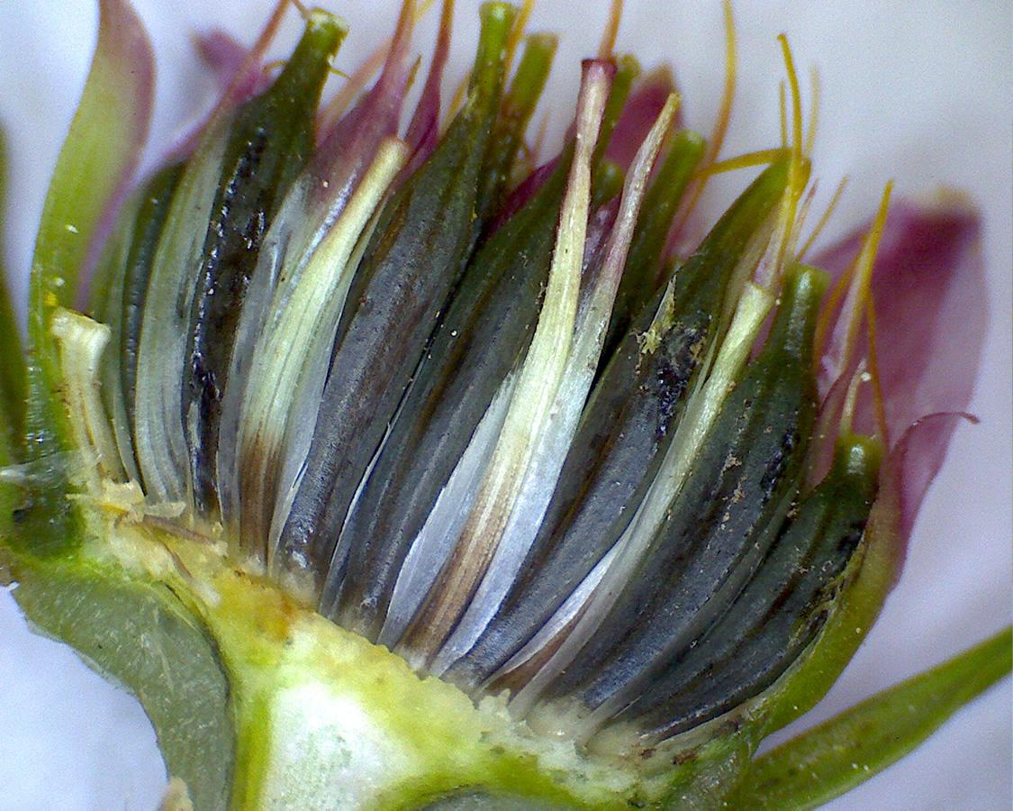 Asiatischer Blüten-Hartriegel 10