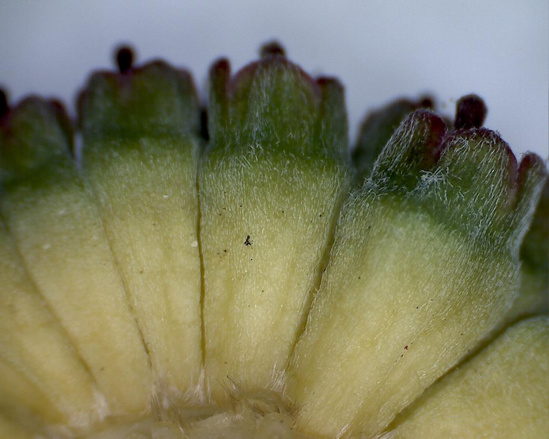 Asiatischer Blüten-Hartriegel 15
