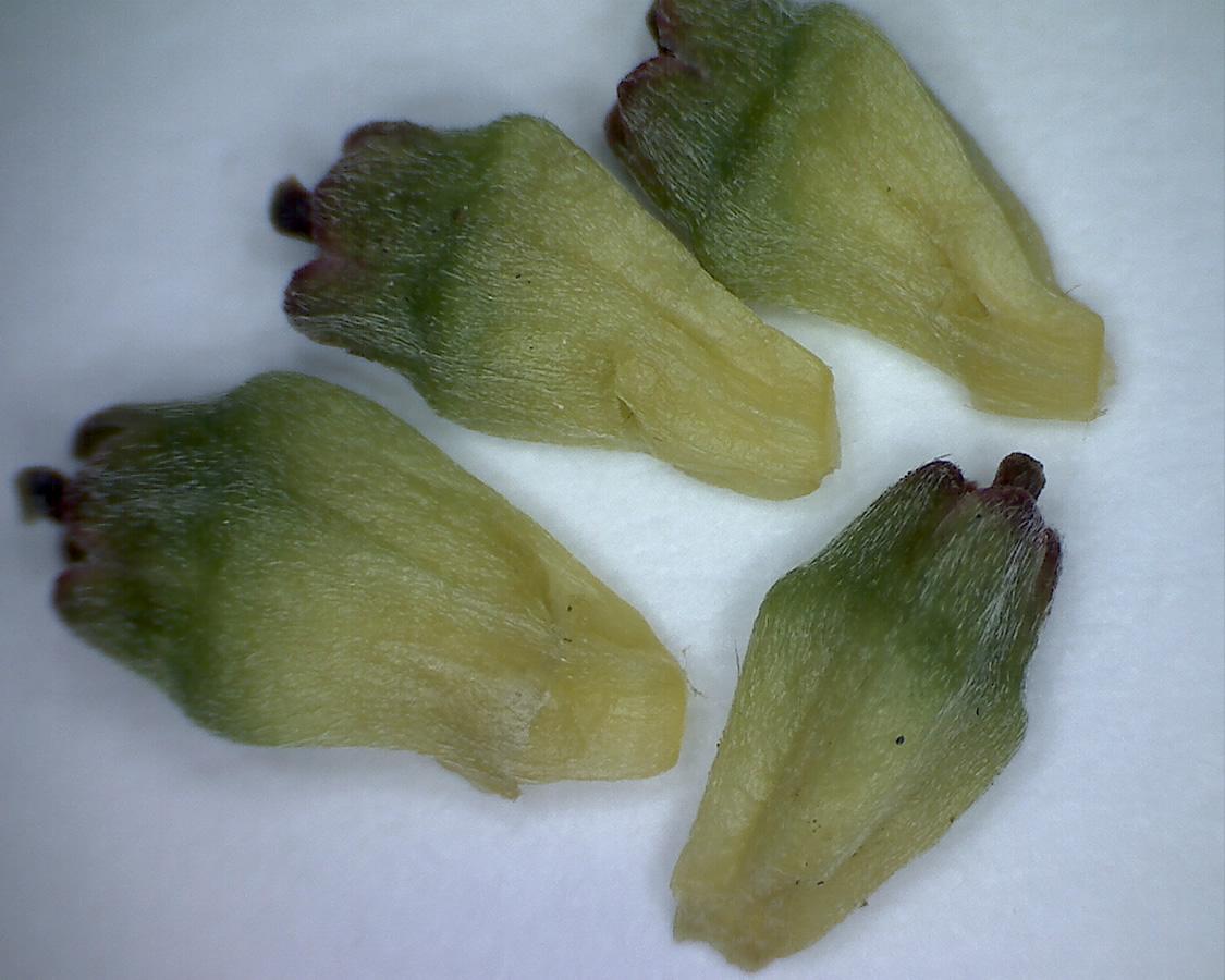 Asiatischer Blüten-Hartriegel 17