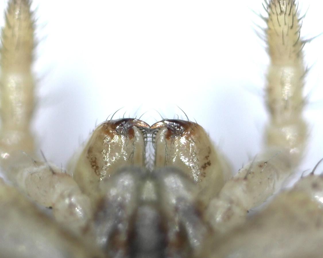 Braune Krabbenspinne 13