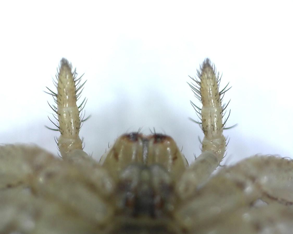 Braune Krabbenspinne 14