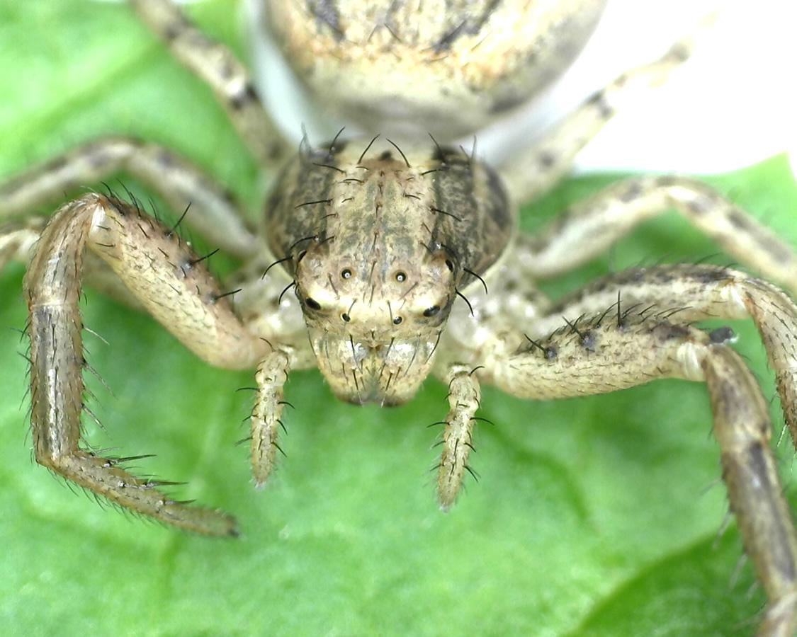 Braune Krabbenspinne 15