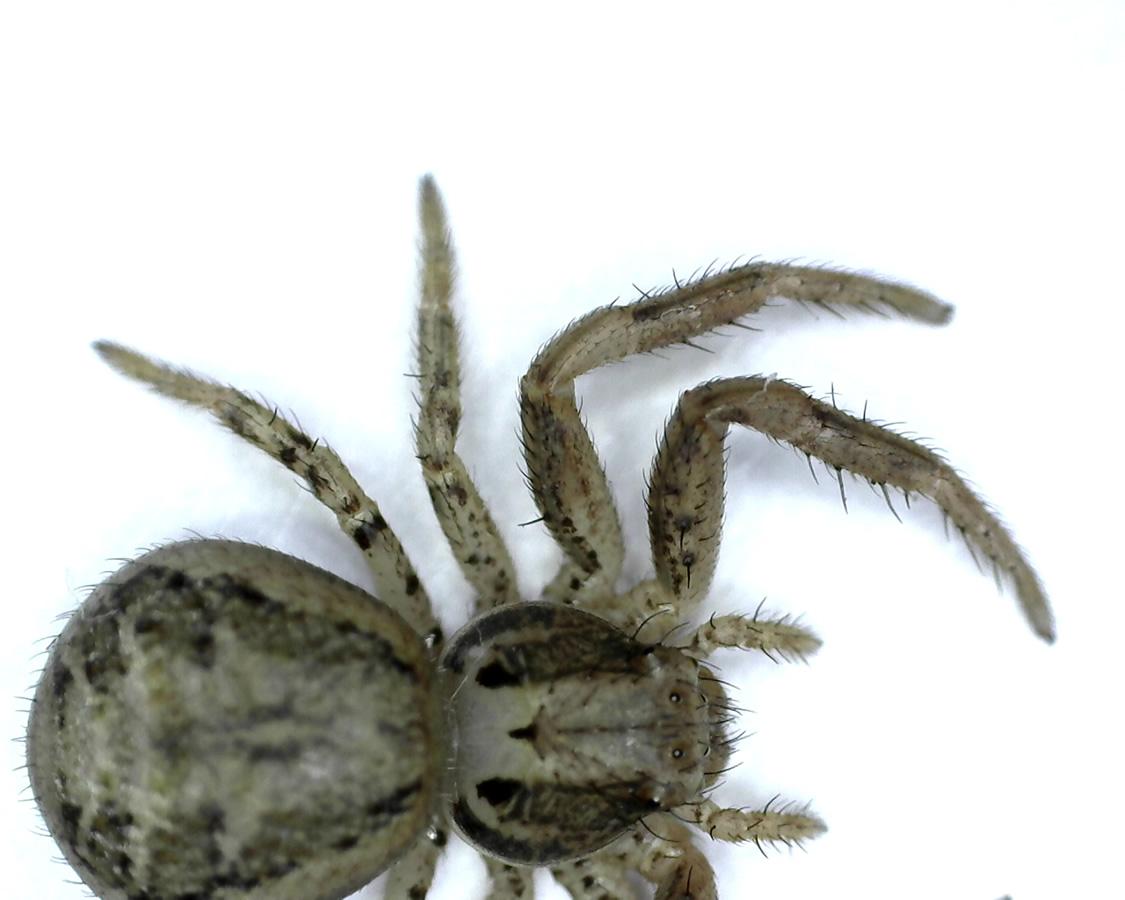 Braune Krabbenspinne 22