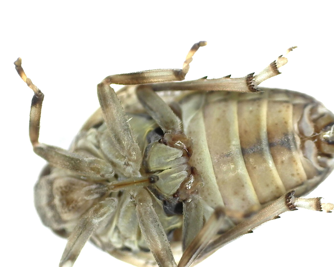 Echte Käferzikade 19