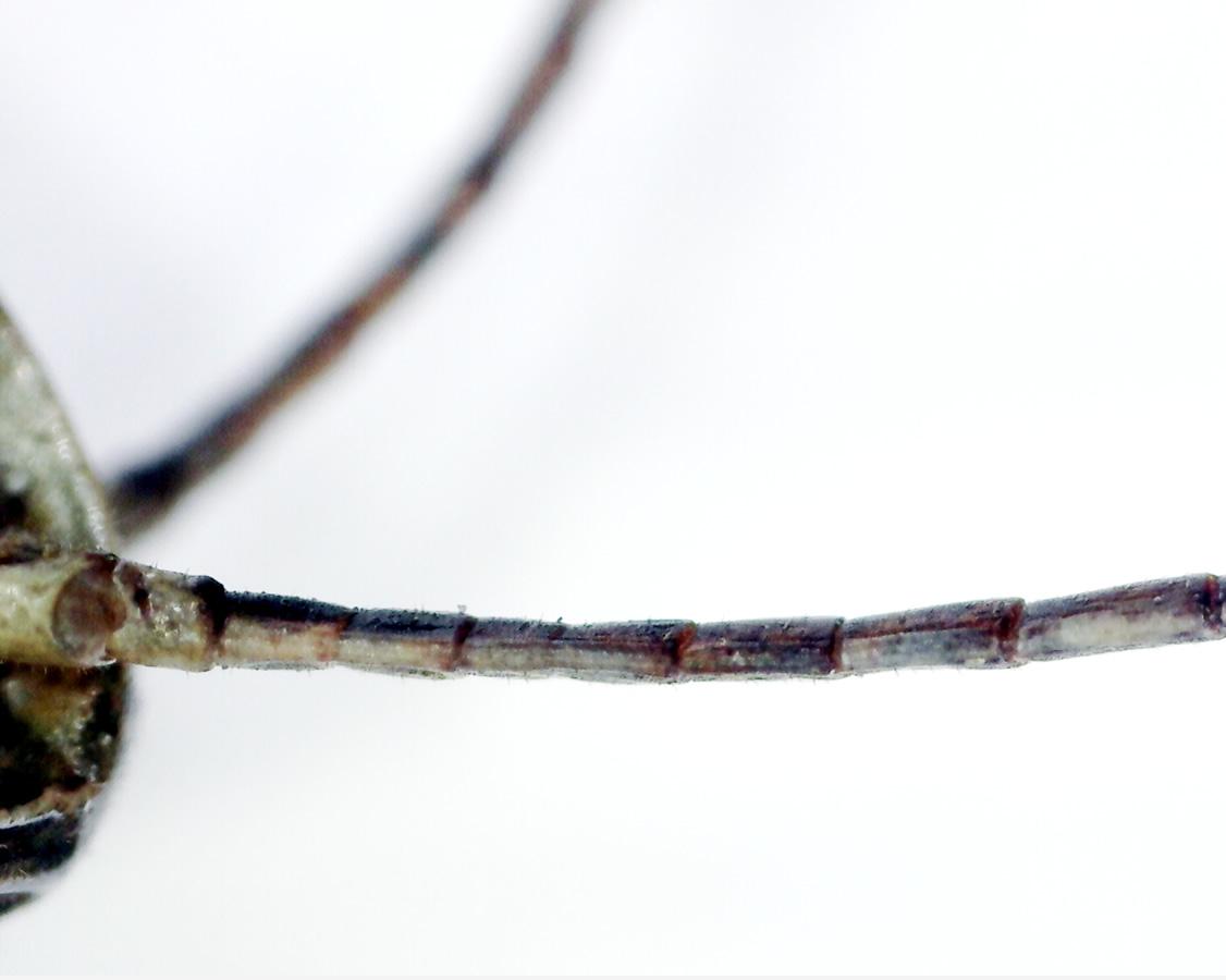 Feldgrashüpfer 09