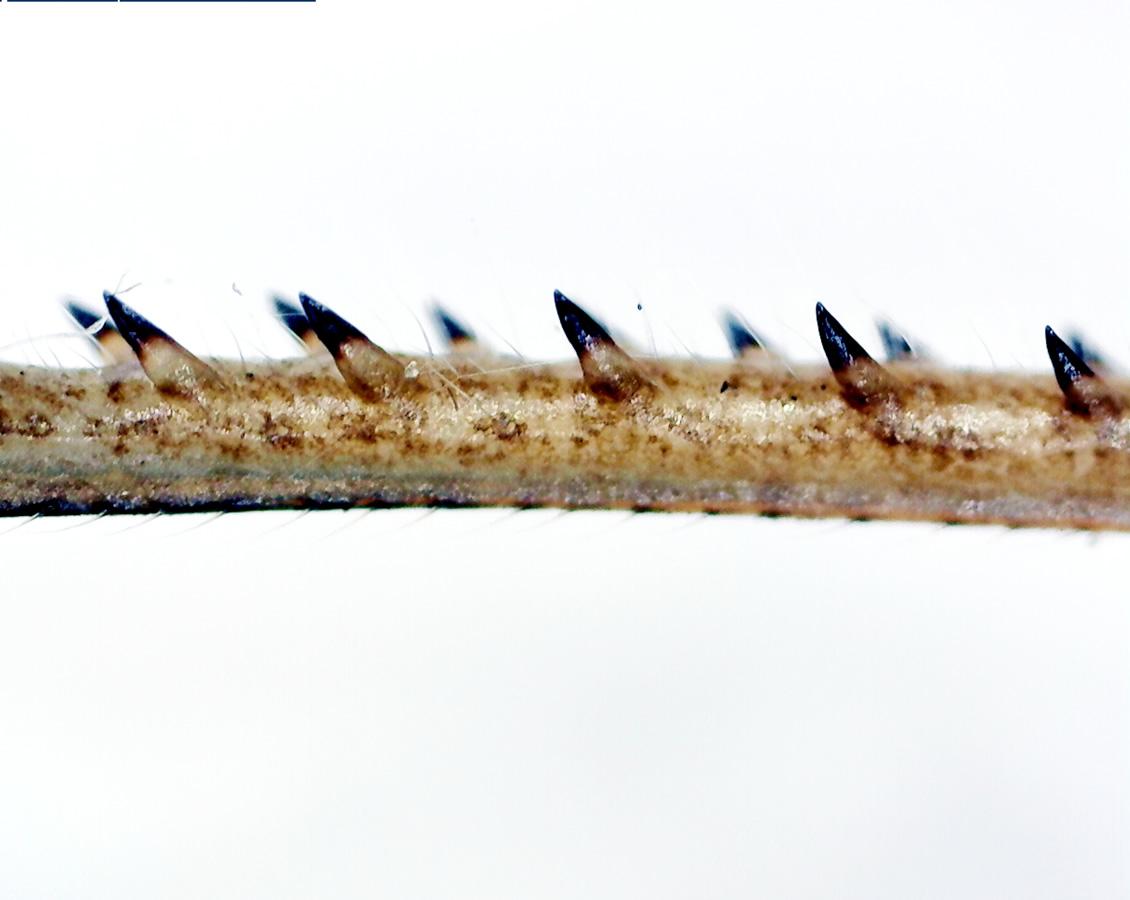 Feldgrashüpfer 25
