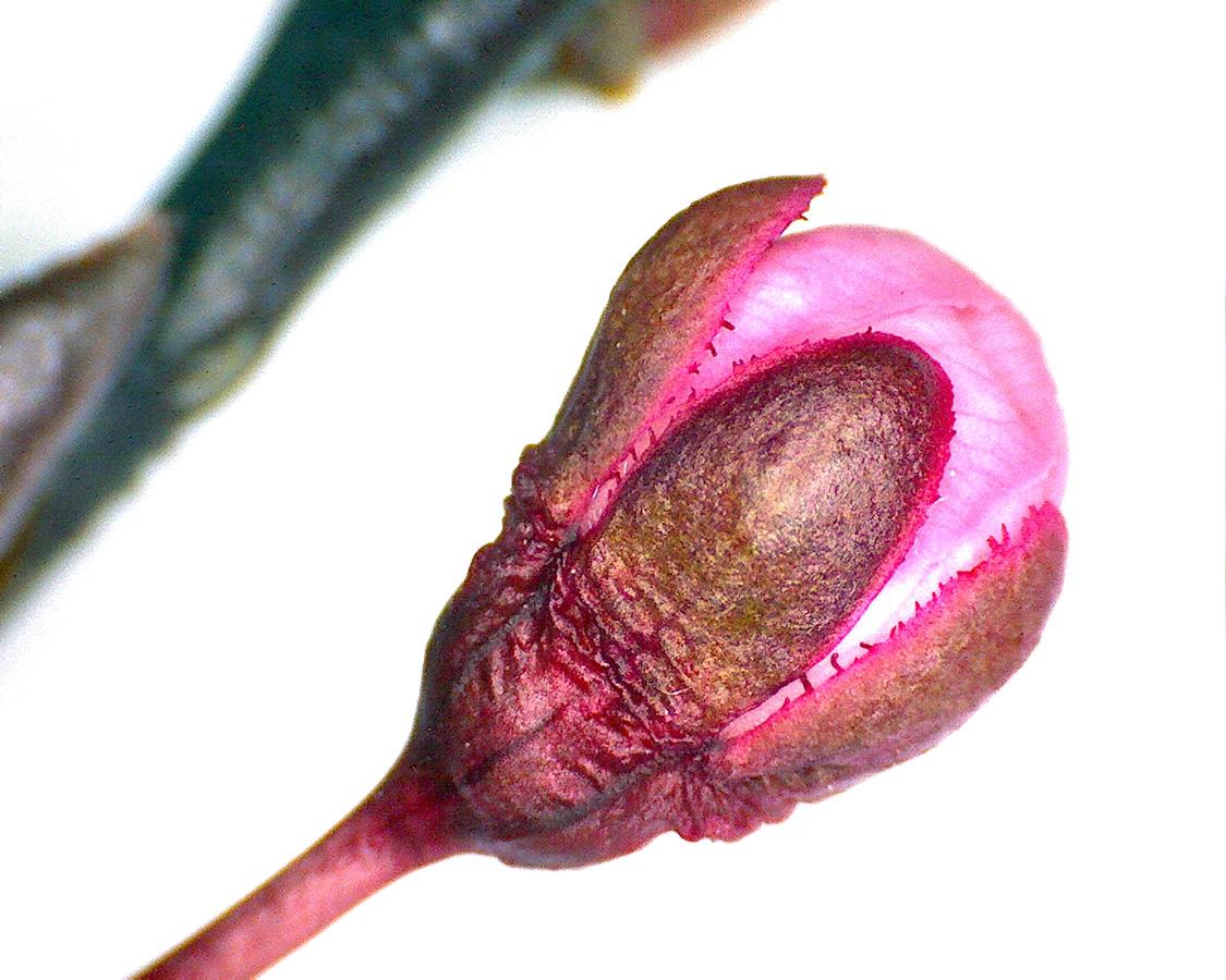 G1 - Foto 07 - Blutpflaume, Blütenknospe