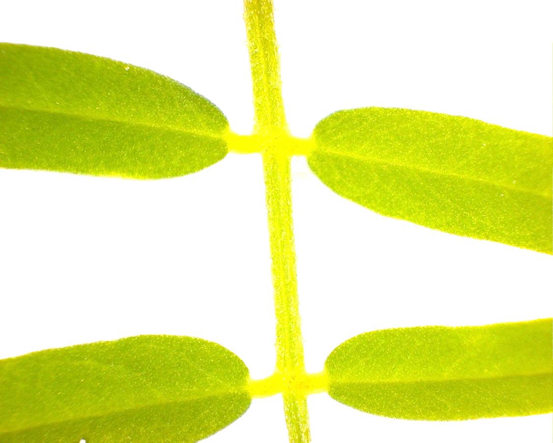 G1 - Foto 11 - Bunte Kronwicke, Blätter