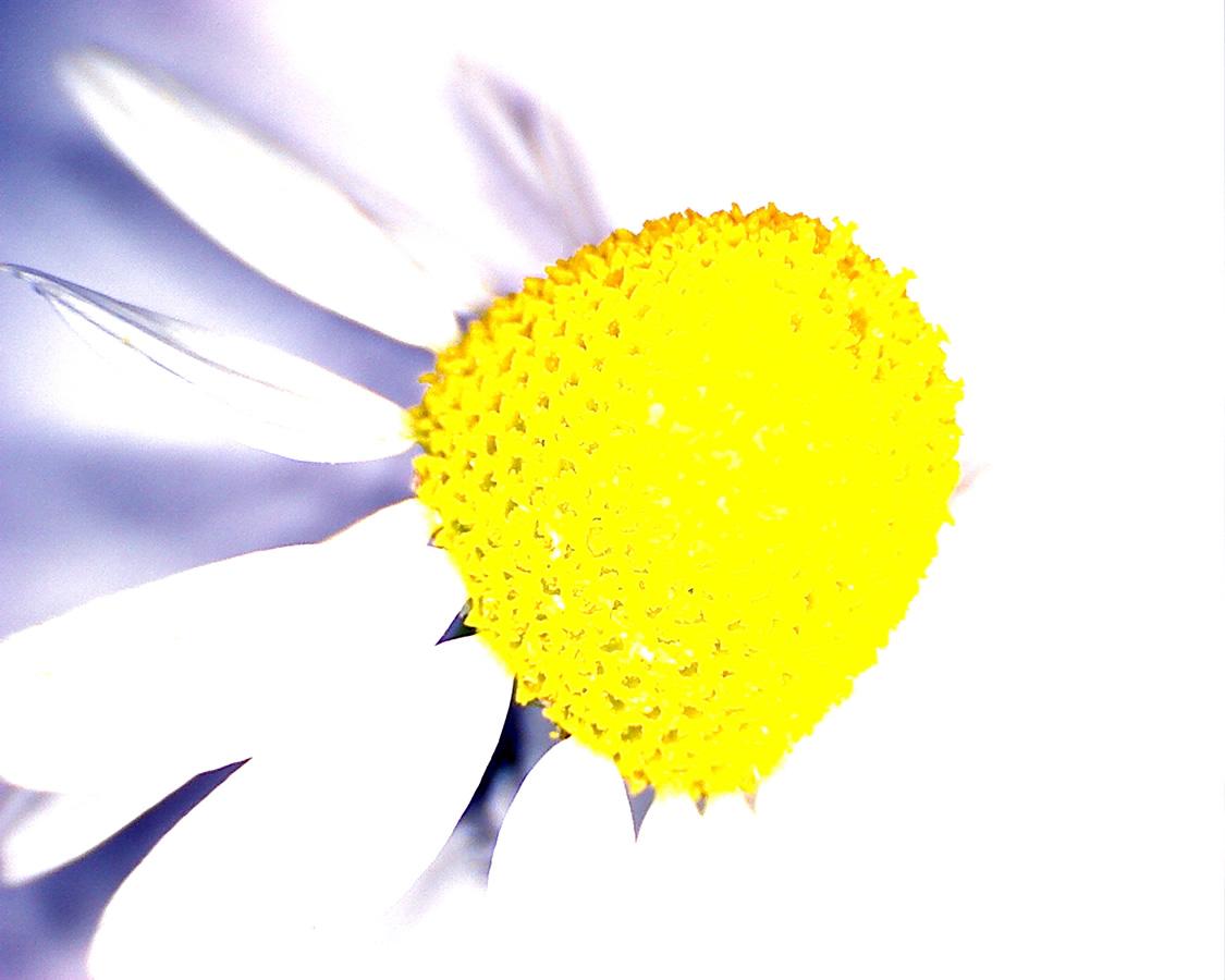 G1 - Foto 16 - Echte Kamille, Blüte