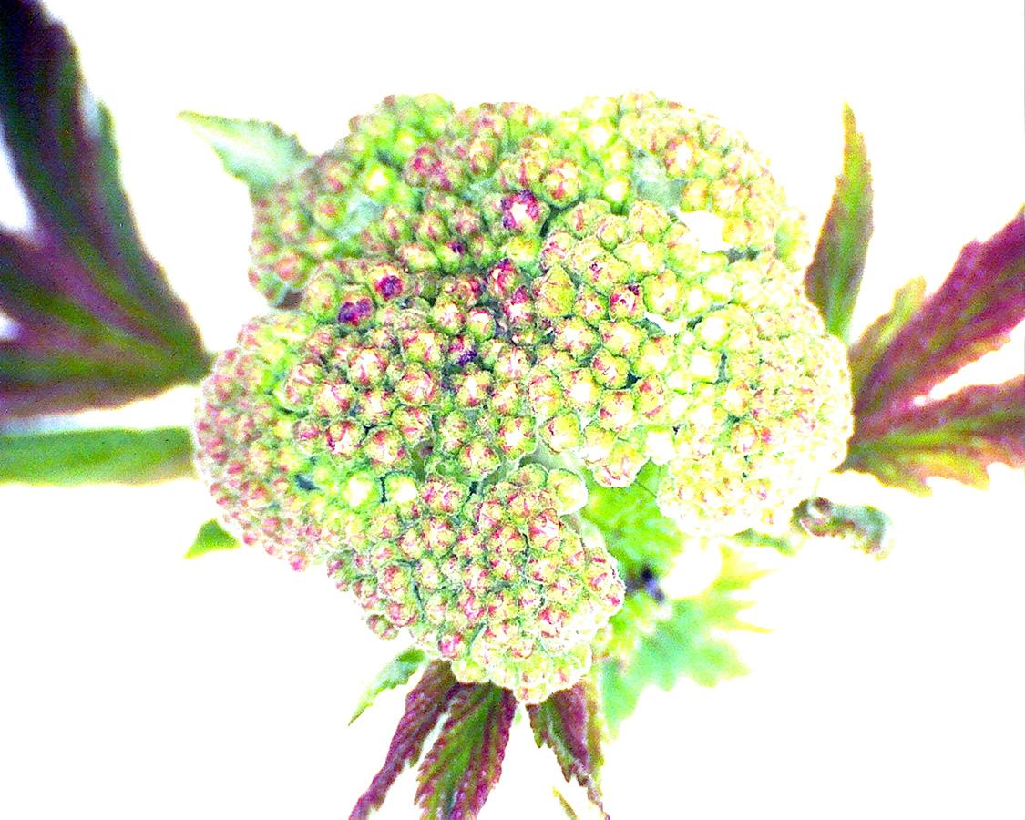 G1 - Foto 19 - Echtes  Mädesüß, Blütenknospe