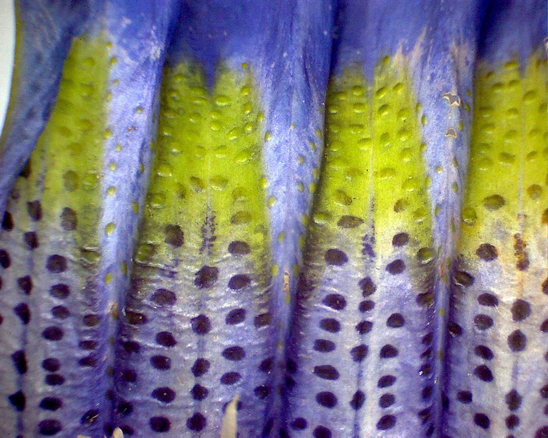 G1 - Foto 22 - Enzian, Blütenkelch innen