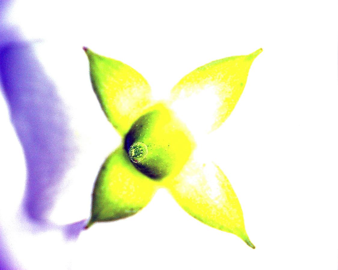 G1 - Foto 23 - Europäischer Pfeifenstrauch, Blüte