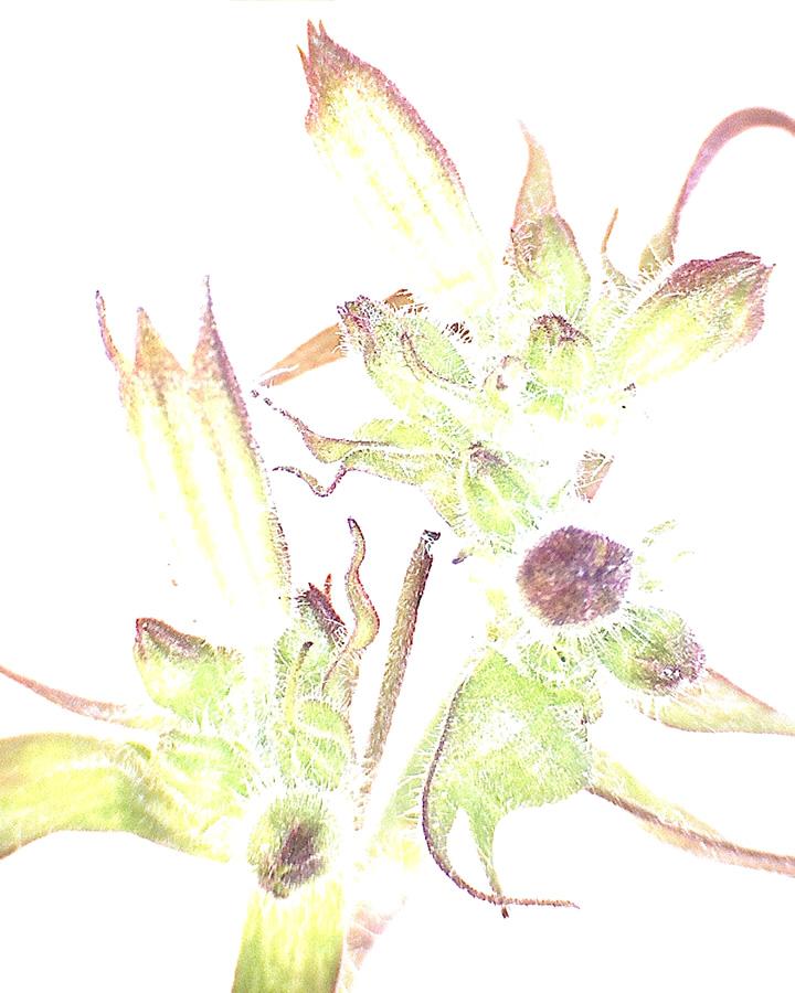 G10 - Foto 03 - Rote Lichtnelke, Blütenstand