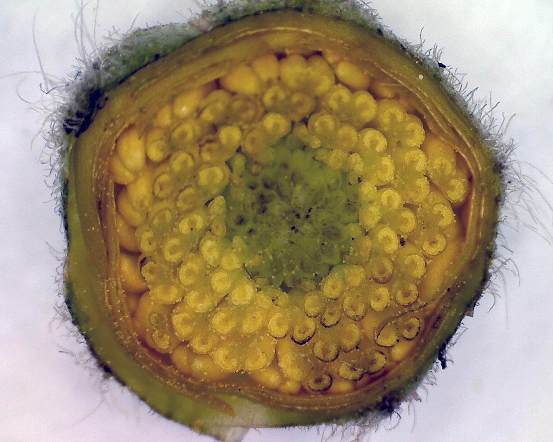 G10 - Foto 06 - Scharfer Hahnenfuß, Blütenknospe quer