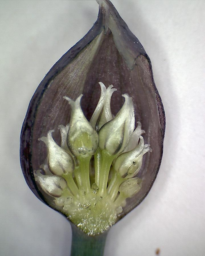 G10 - Foto 07 - Schnittlauch, junger Fruchtstand längs