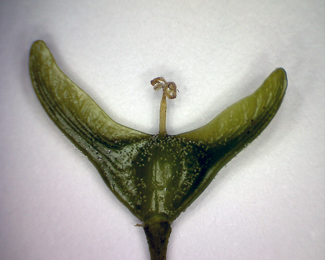 G10 - Foto 14 - Spitzahorn, junge Frucht