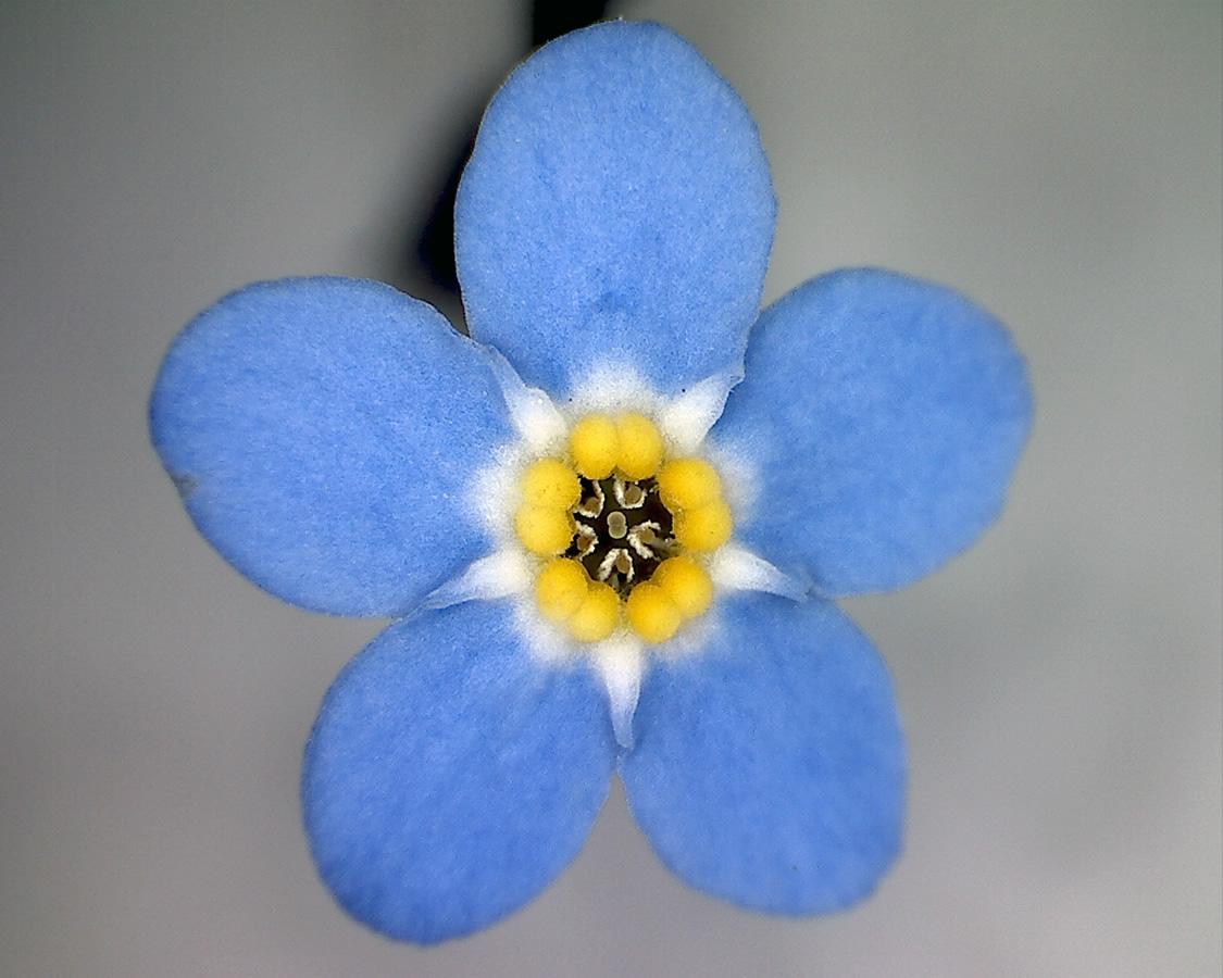 G10 - Foto 22 - Vergissmeinicht, Zier, Blüte