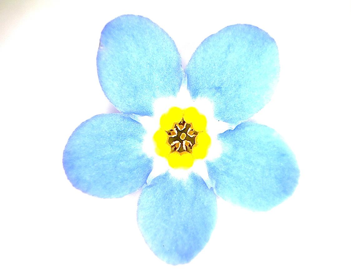 G10 - Foto 23 - Vergissmeinicht, Zier, Blüte
