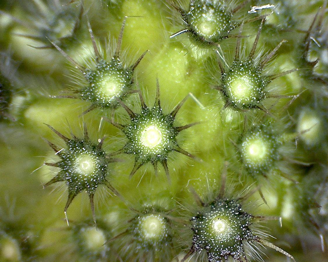 G11 - Foto 02 - Acker-Witwenblume, Fruchtboden