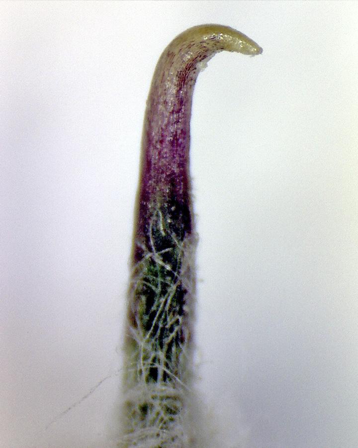 G11 - Foto 04 - Filzige Klette, Hüllblatt (Häkchen)