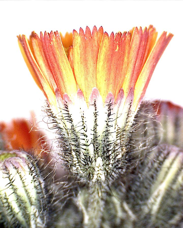 G11 - Foto 12 - Orangerotes Habichtskraut, Bllütenknospe