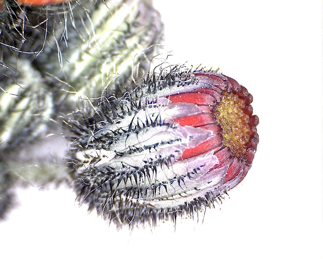 G11 - Foto 14 - Orangerotes Habichtskraut, Blütenknospe