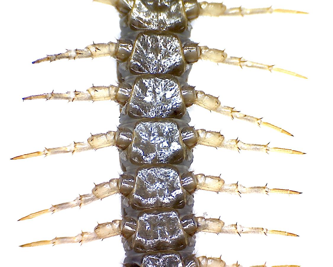 G12 - Foto 13 - Hundertfüßer, Beine