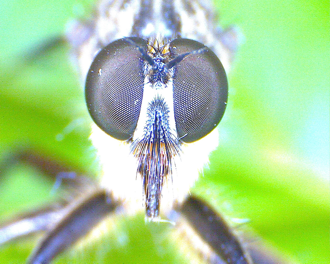 G12 - Foto 15 - Kopf der Raubfliege von vorne