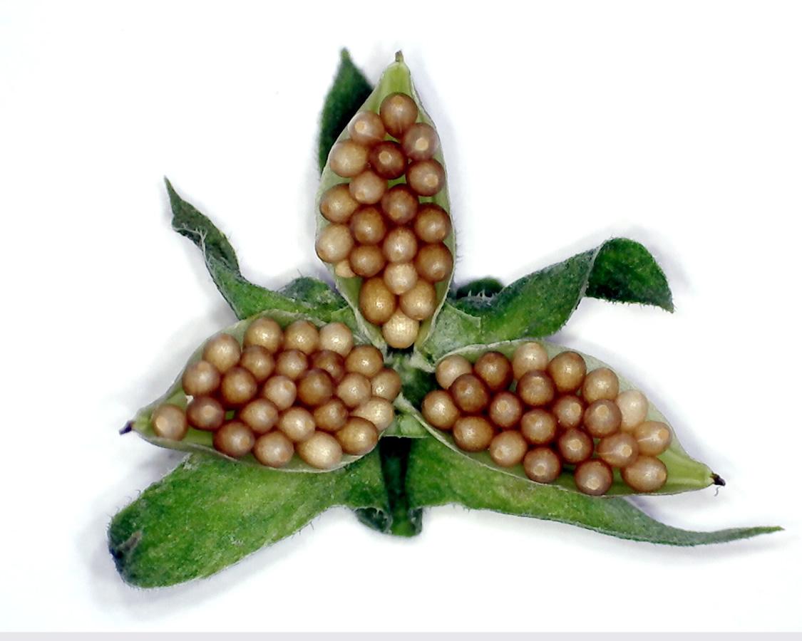 G3 - Foto 02 - Acker-Stiefmütterchen, Frucht mit Samen