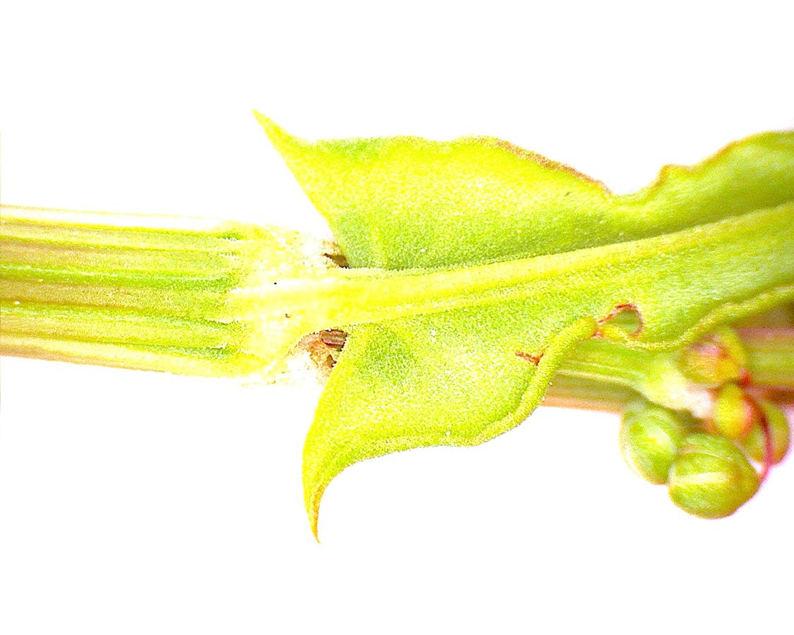 G3 - Foto 05 - Großer Sauerampfer, Blattöhrchen