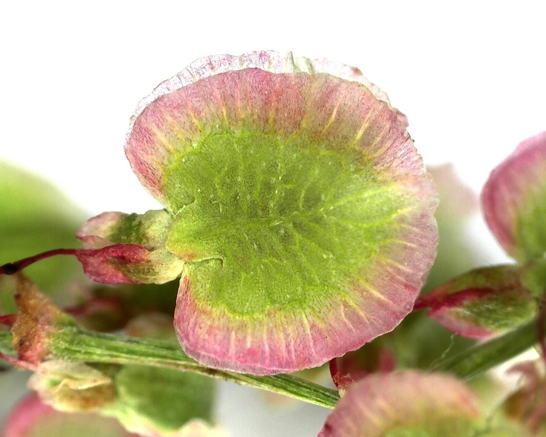 G3 - Foto 06 - Großer Sauerampfer, Frucht