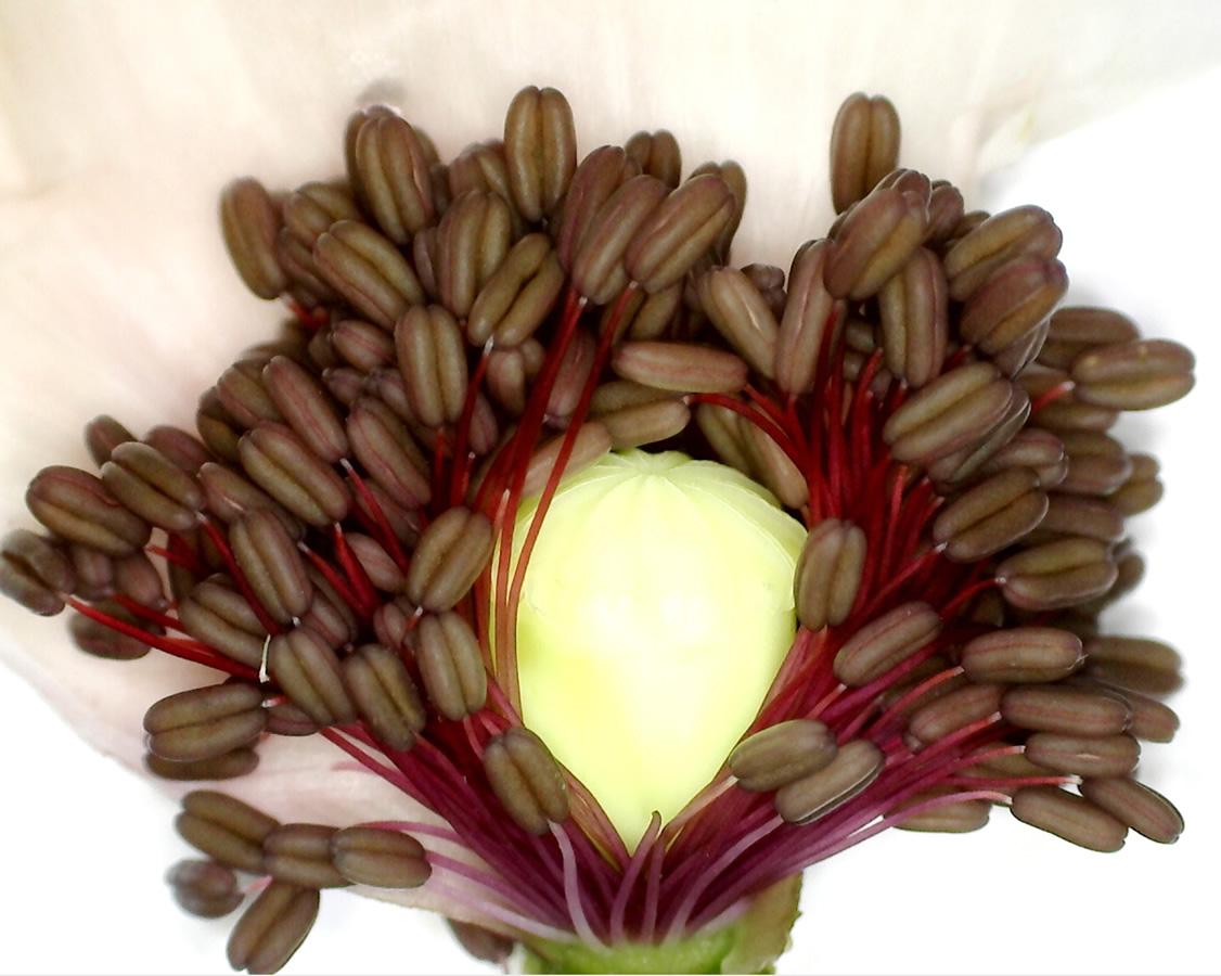 G3 - Foto 10 - Klatschmohn, Staubblätter und Frucht