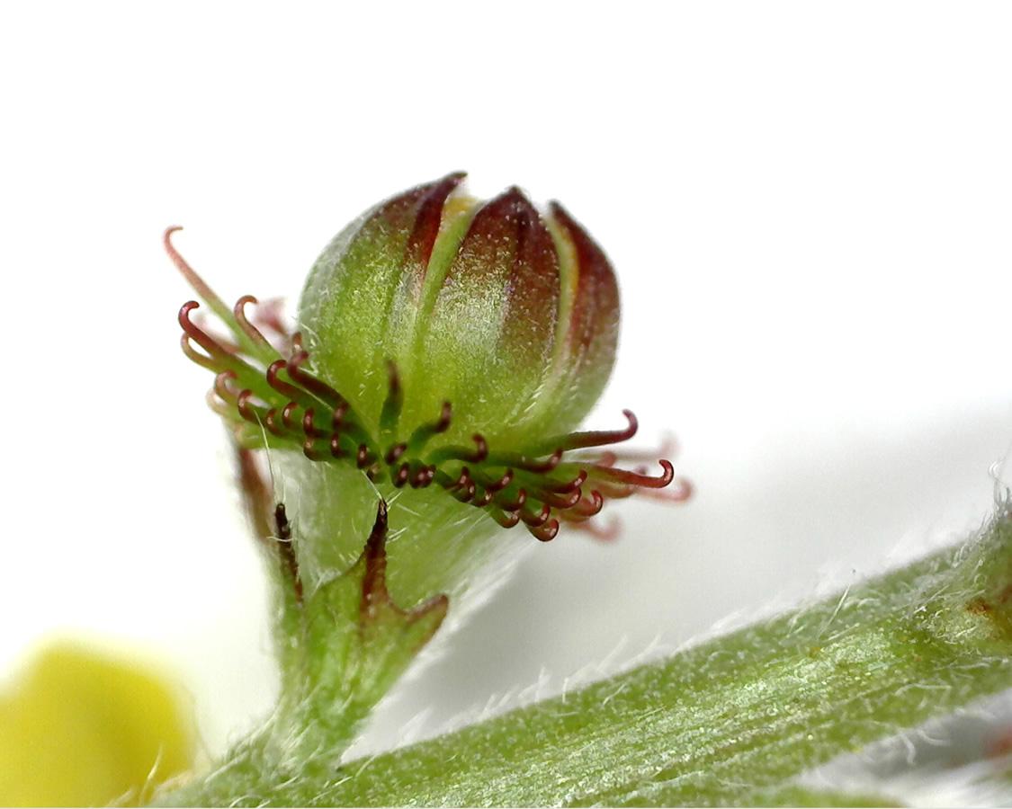 G3 - Foto 14 - Kleiner Odermennig, Frucht