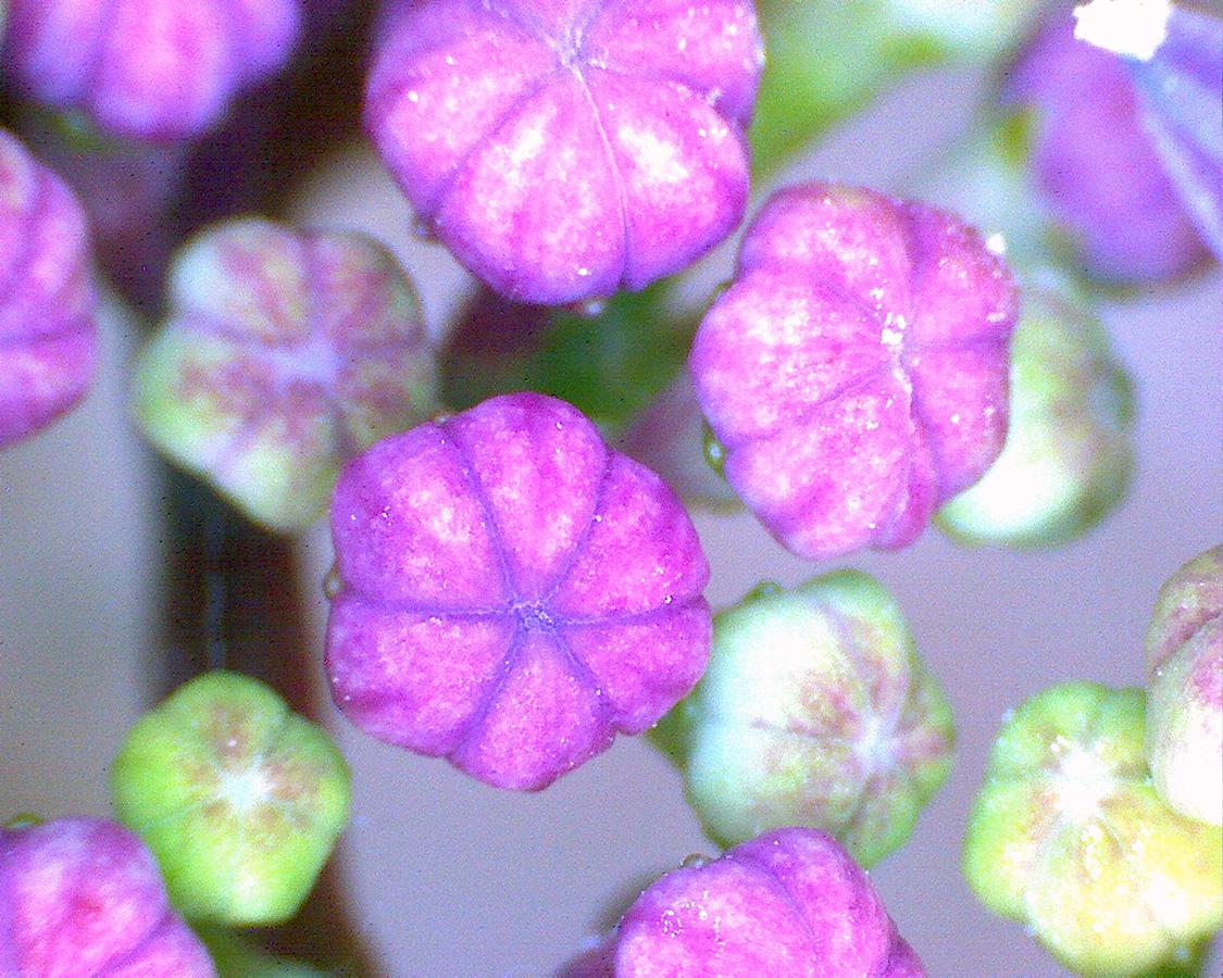 G14 - Foto 02 - Gartenhottensie, Blüten