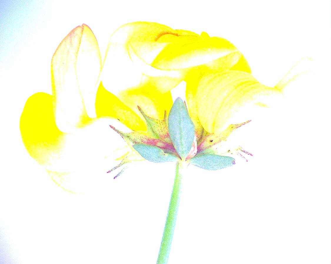 G14 - Foto 09 - Gewöhnlicher Hornklee, Blüte