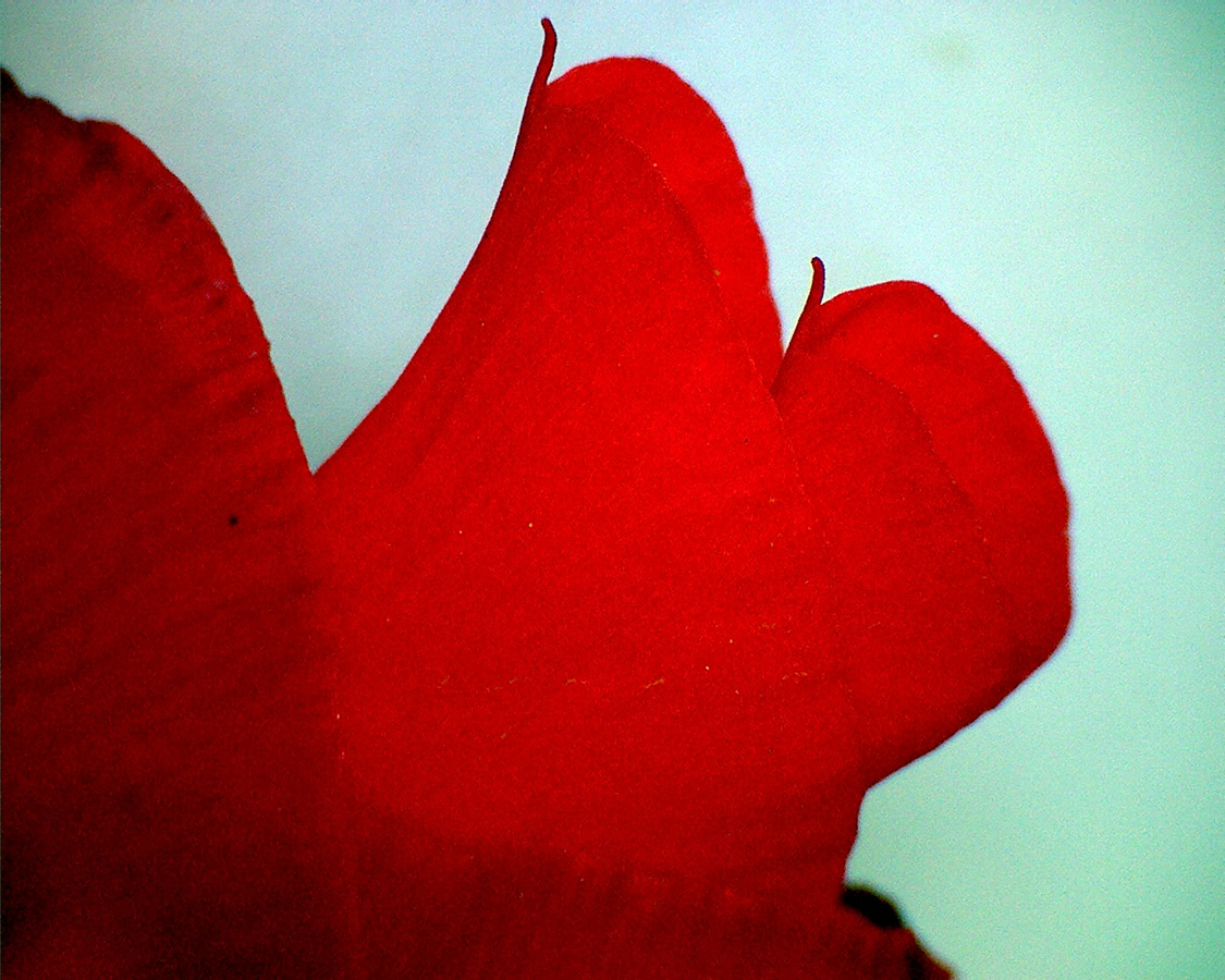 G14 - Foto 16 - Gladiole, Blüte