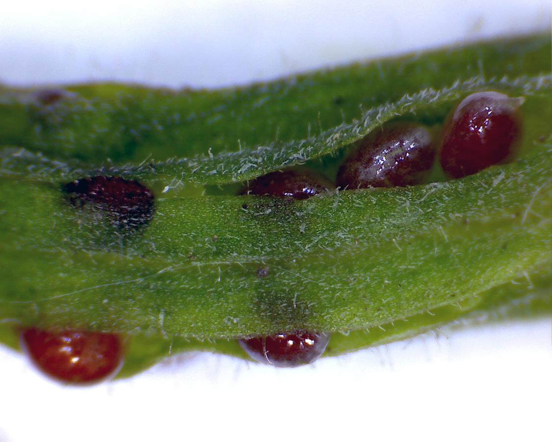 G3 - Foto 08 - Hornfrüchtiger Sauerklee, Schote mit Samen