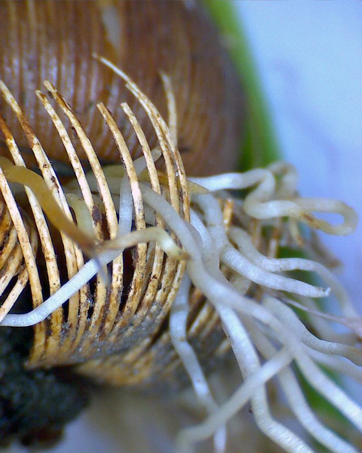 G4 - Foto 01 - Krokus, Schale mit Wuzel, Detail