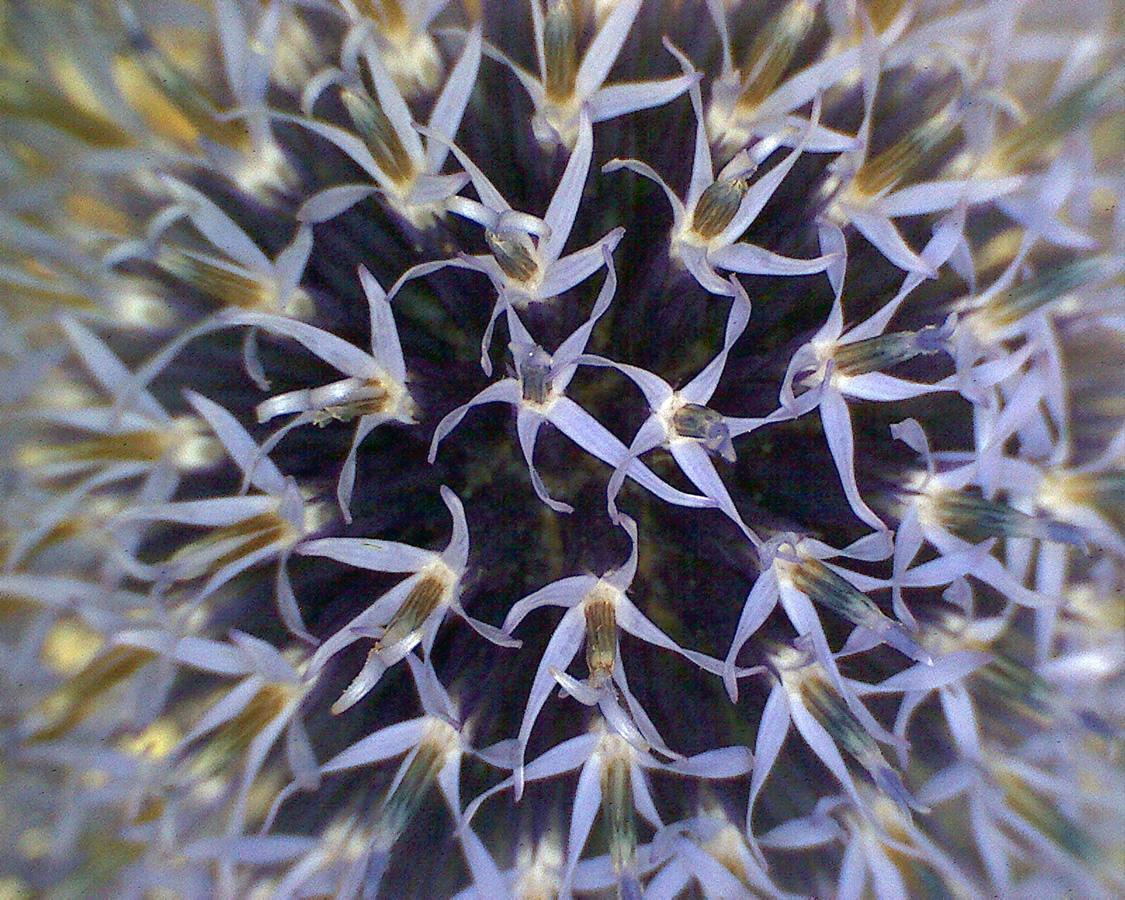 G4 - Foto 02 - Kugerldistel, Blüte