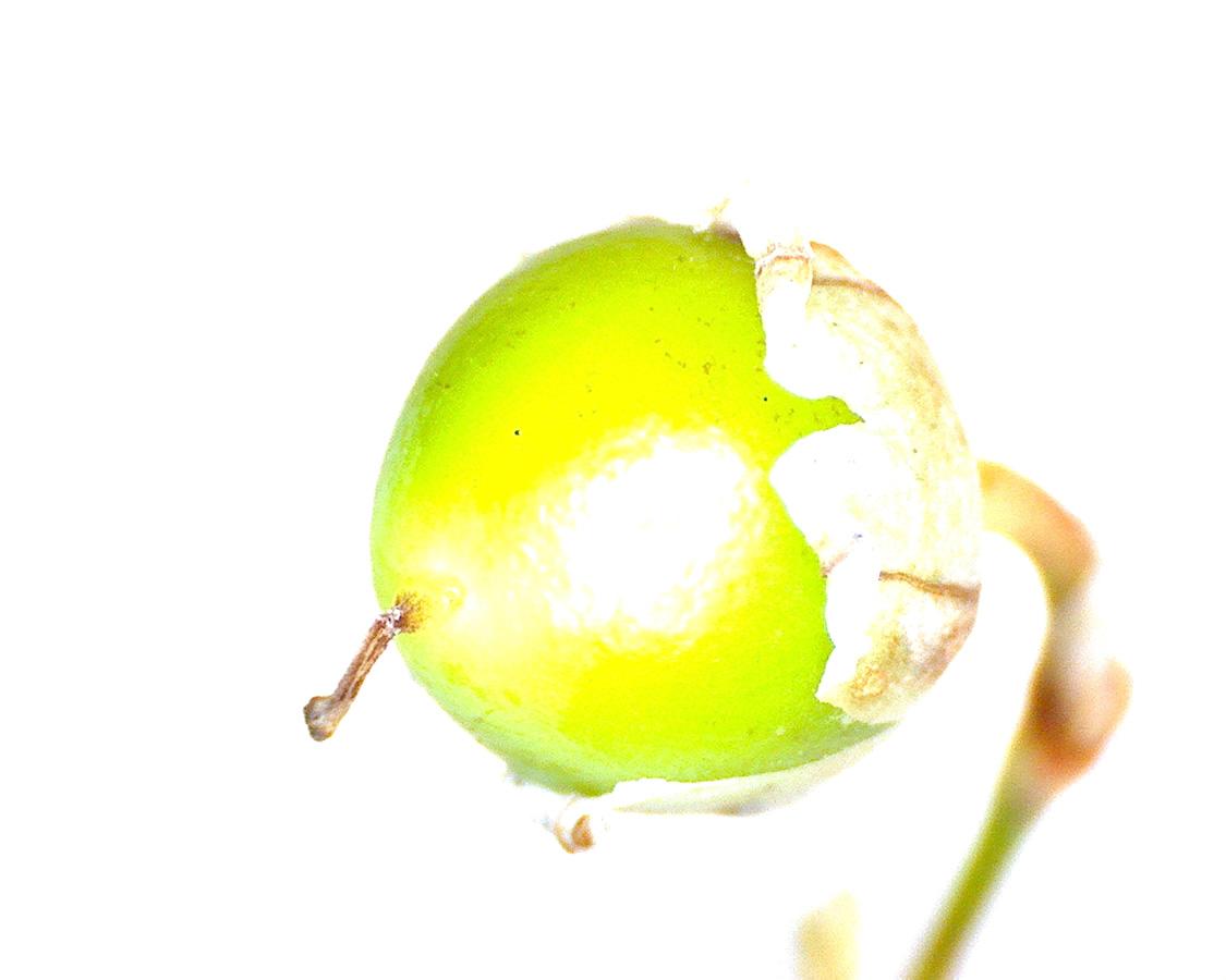 G4 - Foto 07 - Maiglöckchen, Frucht