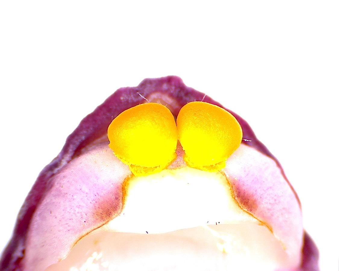 G4 - Foto 17 - Orchidee, Pollenpakete