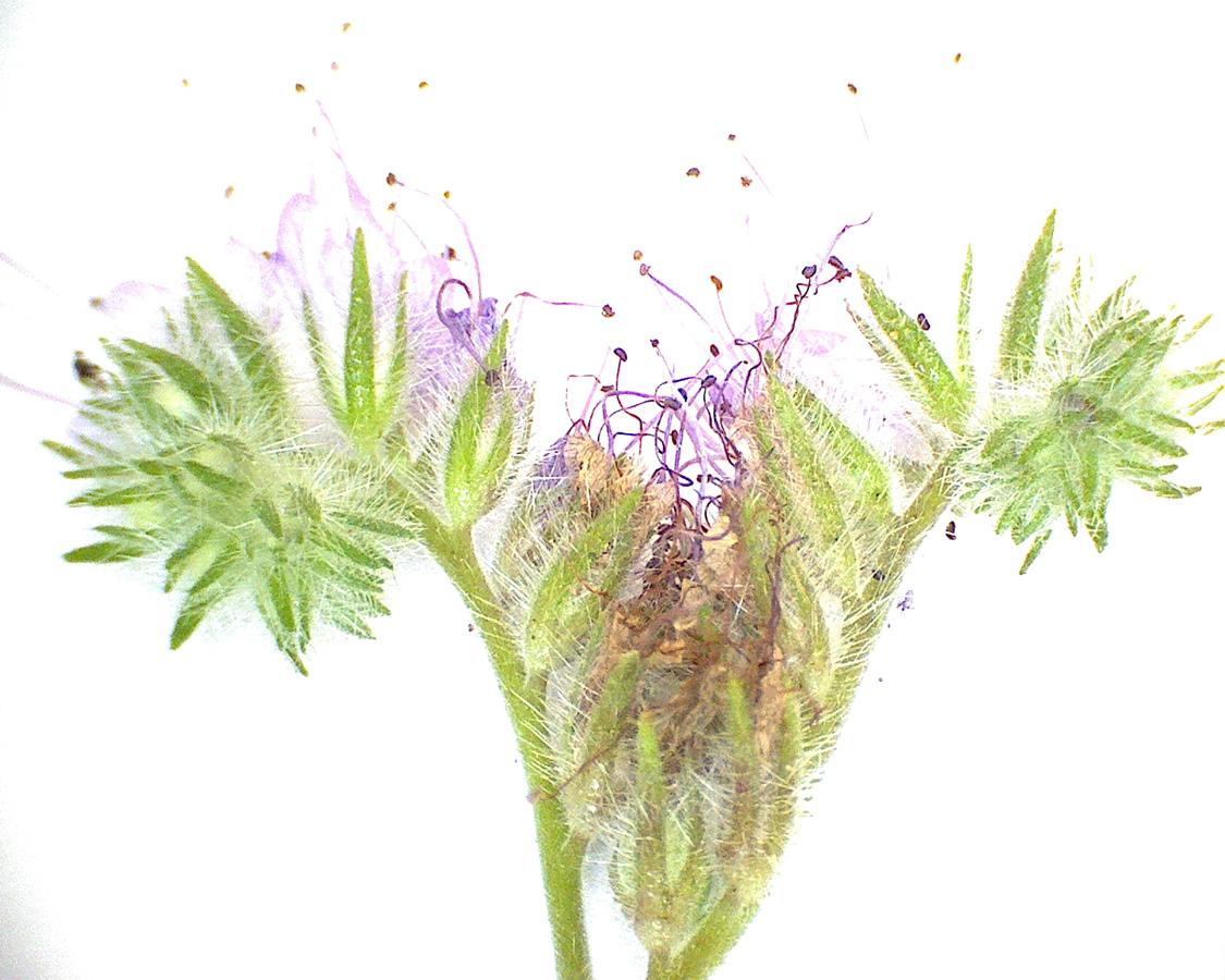G4 - Foto 21 - Phacelia, Blüte