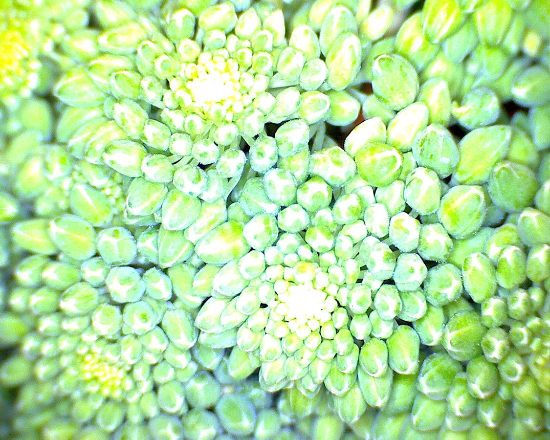 G5 - Foto 02 - Raps, Blüten geschlossen