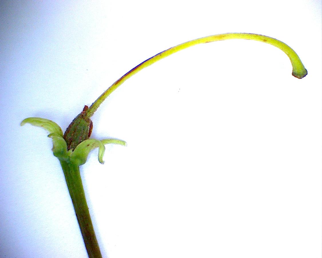 G5 - Foto 04 - Rhododendron, Frucht