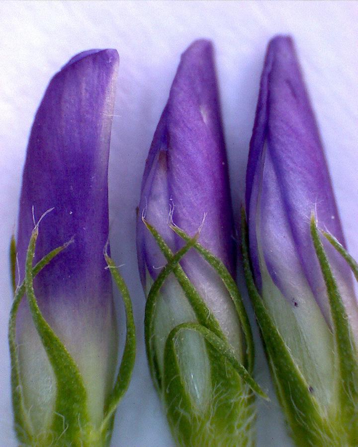 G5 - Foto 12 - Saatluzerne, Blüten