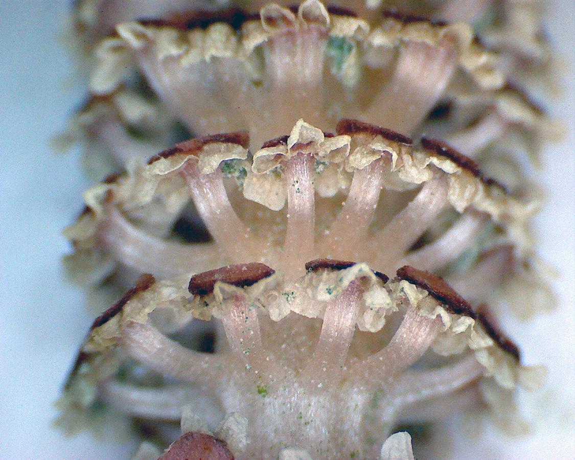 G5 - Foto 18 - Schachtelhalm, Sporangienbehälter
