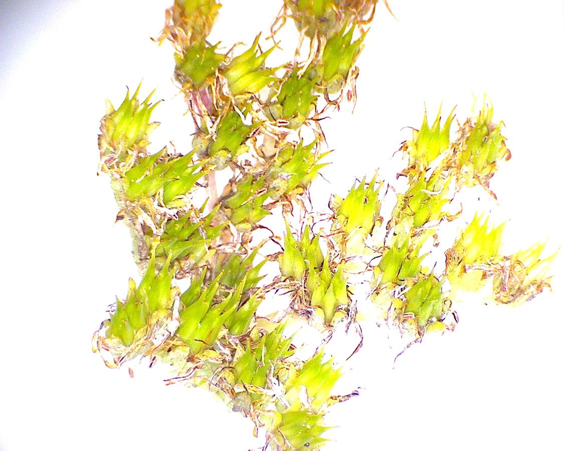 G5 - Foto 20 - Sedum, schmales Blatt, Frucht