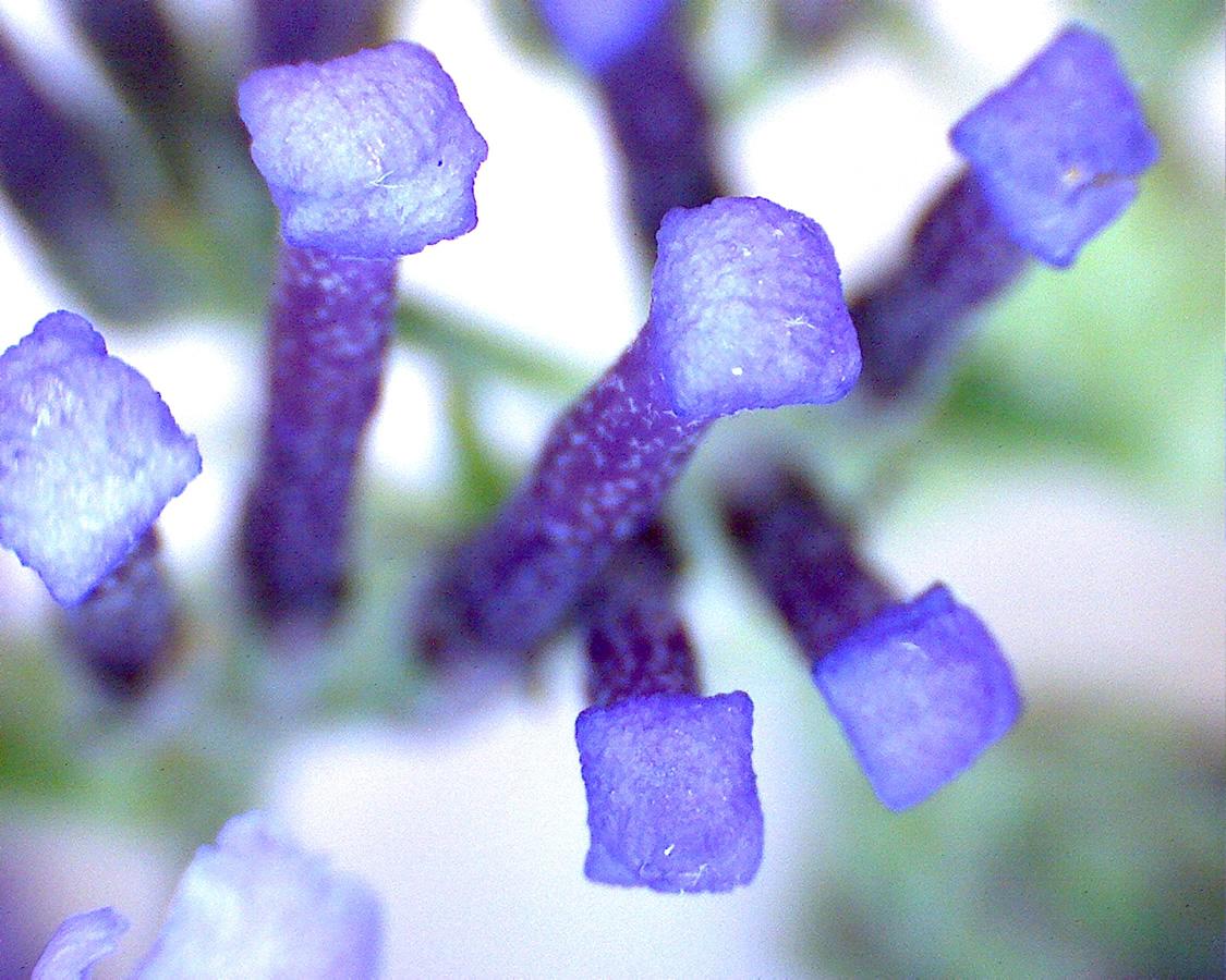 G5 - Foto 22 - Sommerflieder, Blütenknospen