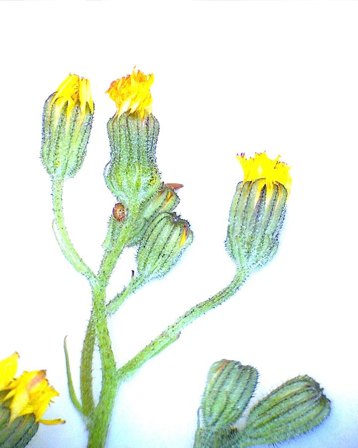 G5 - Foto 23 - Sommerlöwenzahn, Blütenstand
