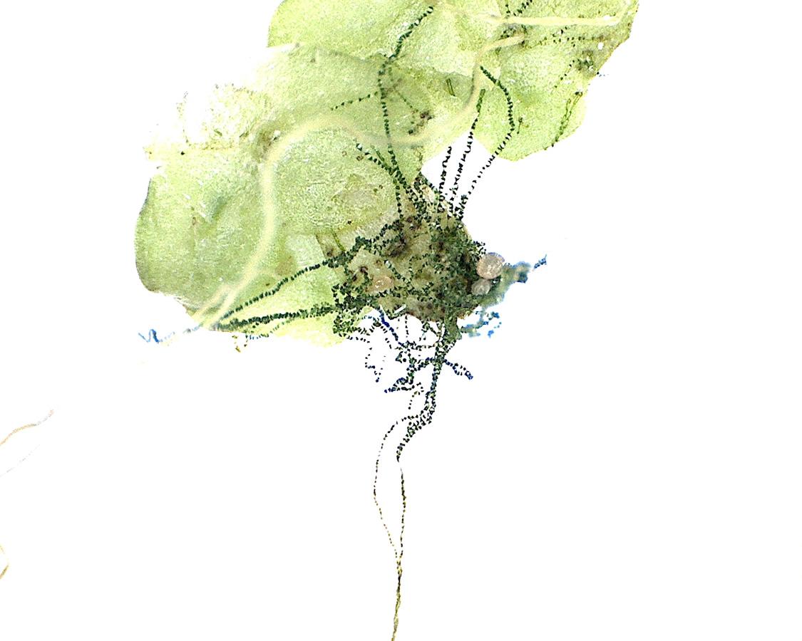 G6 - Foto 01 - Faden alge Spirogyra